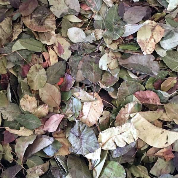 Birnenbaumblätter